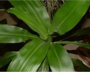planta-pau-dagua-coqueiro-de-venus (15)