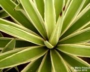planta-pau-dagua-coqueiro-de-venus (17)