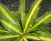 planta-pau-dagua-coqueiro-de-venus (18)