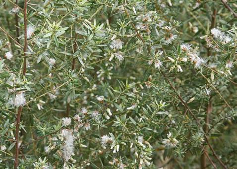 Resultado de imagem para • Vassoura branca -Piptocarpha