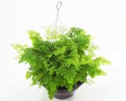 planta-avenca-uemura