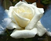 Significado da Rosa Branca na Macumba (1)