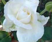 Significado da Rosa Branca na Macumba (3)