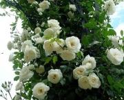 Significado da Rosa Branca na Macumba (4)