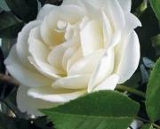 Significado da Rosa Branca na Macumba (5)
