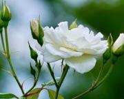 Significado da Rosa Branca na Macumba (9)