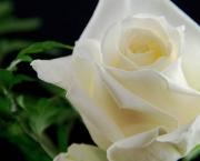 Significado da Rosa Branca na Macumba (10)
