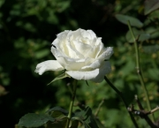 Significado da Rosa Branca na Macumba (12)