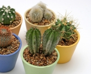 Various Potted Cacti
