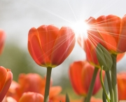 orange_tulips-wallpaper-1440x900