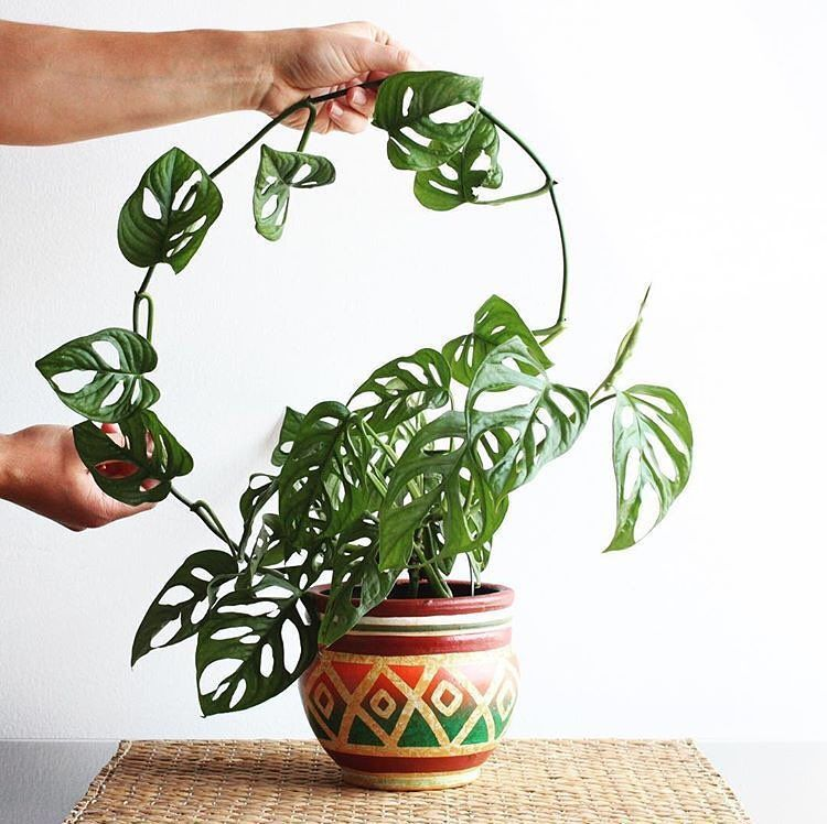 Monstera Oblíqua