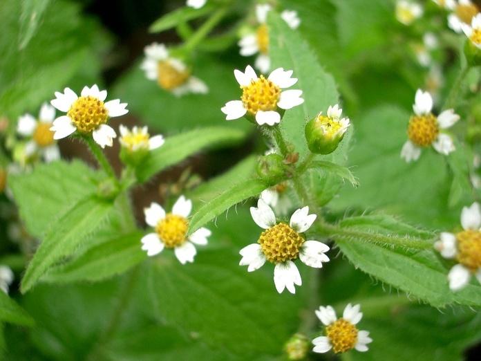 Galinsoga Parviflora, Flor Medicinal e Minúscula